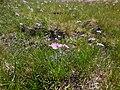 Primula farinosa 3 - Névache.jpg