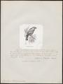Prioniturus wallacei - 1872 - Print - Iconographia Zoologica - Special Collections University of Amsterdam - UBA01 IZ18500029.tif