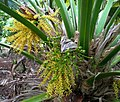 Pritchardia martii (5249645225).jpg