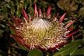 Protea cynaroides 5Dsr 8209.jpg