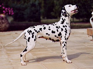 Dalmatian dog Dog breed