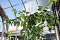 Prunus africana 5zz.jpg
