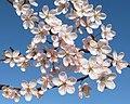 Prunus cerasifera pissardii Цветущая ветка.jpg