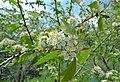 Prunus emarginata flowering in upper Swakane Canyon Chelan County Washington.jpg