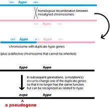 220px Pseudogene3jpg - Pseudogenes Tipos y Caracteristicas