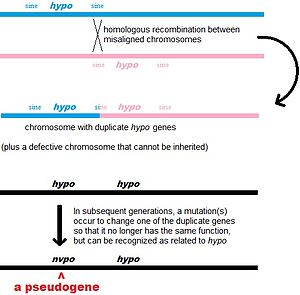 Pseudogene - One way a pseudogene may arise
