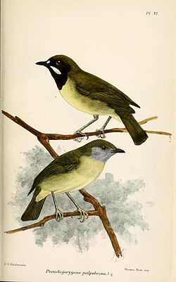 Hane överst och hona under. Illustration av John Gerrard Keulemans 1879.
