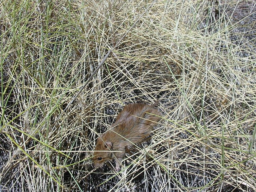 Pseudomys desertor TPartridge