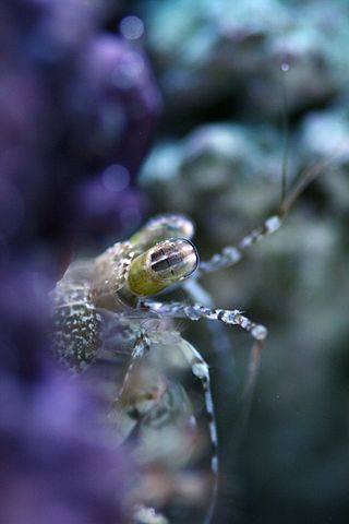 Mantis Shrimp Has the World's Fastest Punch 320px-Pseudosquilla