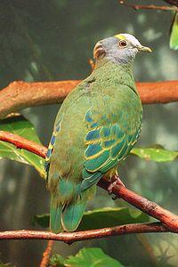 Ptilinopus coronulatus -Central Park Zoo-8a