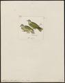 Ptilinopus flavicollis - 1820-1860 - Print - Iconographia Zoologica - Special Collections University of Amsterdam - UBA01 IZ15600045.tif