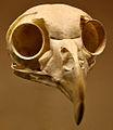 Pulsatrix perspicillata skull.jpg