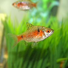 Puntius padamya males show very bright red coloration