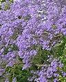 Purple Haze - panoramio.jpg
