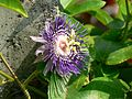 Purple passionflower (432692056).jpg