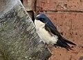 Pygochelidon cyanoleuca (Golondrina azul y blanca) - Flickr - Alejandro Bayer (2).jpg
