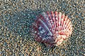 Queen scallop (Aequipecten opercularis) (8197983024).jpg