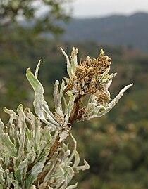 Quercus pyrenaica patológico 20090813 2.jpg