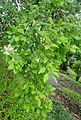 Quercus suber kz1.jpg