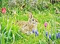 Rabbit interrupted (26602607330).jpg