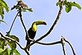 Ramphastos sulfuratus -Belize-8 (1).jpg