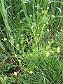 Ranunculus arvensis sl1.jpg