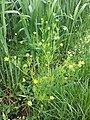 Ranunculus arvensis sl2.jpg