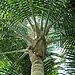 Ravenea rivularis-IMG 0468.jpg