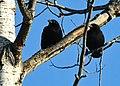 Ravens in a tree - Drummond Island, Michigan in Winter.jpg