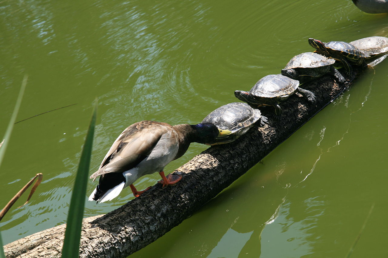 Are Red Eared Sliders Okay At Room Temperature Water