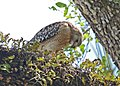 Red-shouldered Hawk female.jpg