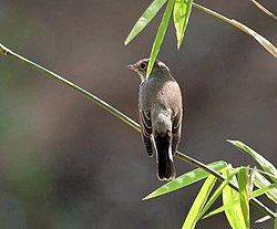 Red-throated Flycatcher (Ficedula parva) at Sindhrot near Vadodara, Gujrat Pix 112.jpg
