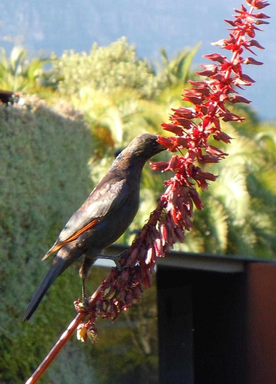Red-winged Starling feeding on Melianthus