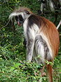 Red Colobus 1.jpg