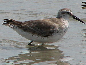 Red knot - Nonbreeding adult