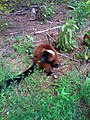 Red Lemur.jpg