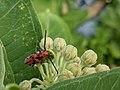 Red Milkweed Beetle (Tetraopes tetrophthalmus) Consuming Common Milkweed Flower.jpg