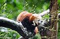 Red Panda (21283491772).jpg