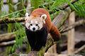 Red Panda (24680619391).jpg