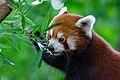 Red Panda (36831300073).jpg