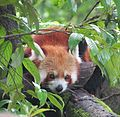 Red Panda darjeeling.jpg