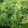 Red Raspberry plants growing in New Jersey in April.jpg