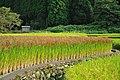 Red Rice Paddy field in Japan 006.jpg