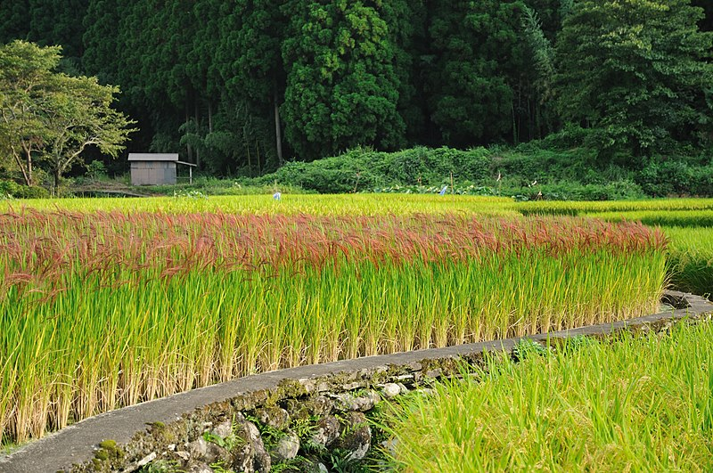 File:Red Rice Paddy field in Japan 006.jpg