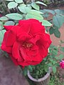Red rose, 2016.jpg