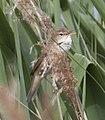 Reed Warbler 5 (3598107508).jpg