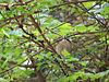 Regulus ignicapillus firecrest