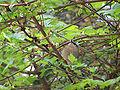 Regulus ignicapillus firecrest.jpg