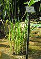 Reis (Oryza sativa).jpg