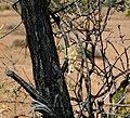 Resin mass on Acacia tree (near Old Wirrealpa Mine, north of Blinman-Wirrealpa Road, Flinders Ranges, South Australia) 1.jpg